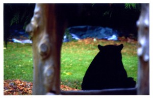 Local bear visitor.